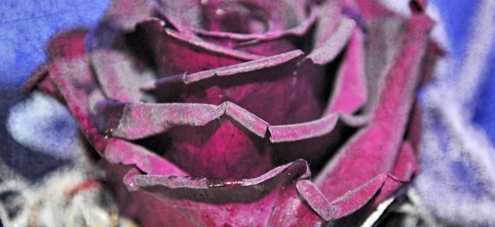 rose1_Fotor-Kopie-980x450